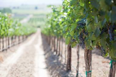 Grapes grow in Lawrence Vineyard to be made into Gard Vintners wine.